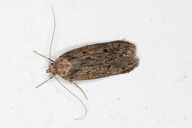 Les papillons de nuit 6 toute la franche comt sur internet - Invasion papillon de nuit ...
